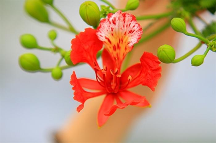 Hình ảnh hoa phượng đẹp ý nghĩa về loài hoa phượng
