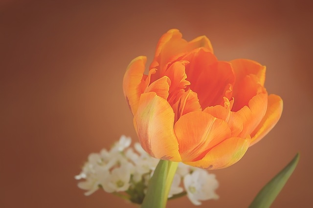 nhung bo hoa tulip dep nhat the gioi
