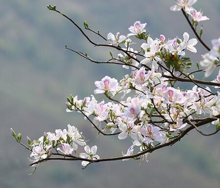 Kết quả hình ảnh cho hoa ban