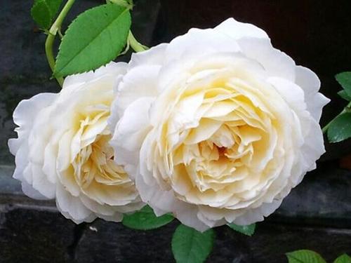 diem danh top 5 hoa hong ngoai vua de trong vua dep  ĐIỂM DANH TOP 5 HOA HỒNG NGOẠI VỪA DỄ TRỒNG VỪA ĐẸP hoa hong leo claire austin