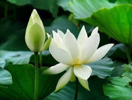 hoa sen trong net van hoa cua nguoi viet nam