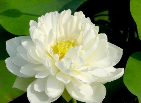 y nghia cua hoa sen trang