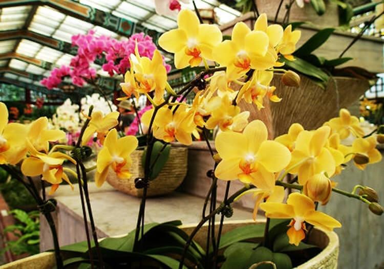 hoa lan ho diep vang  y nghia va nhung mau hoa dep nhat